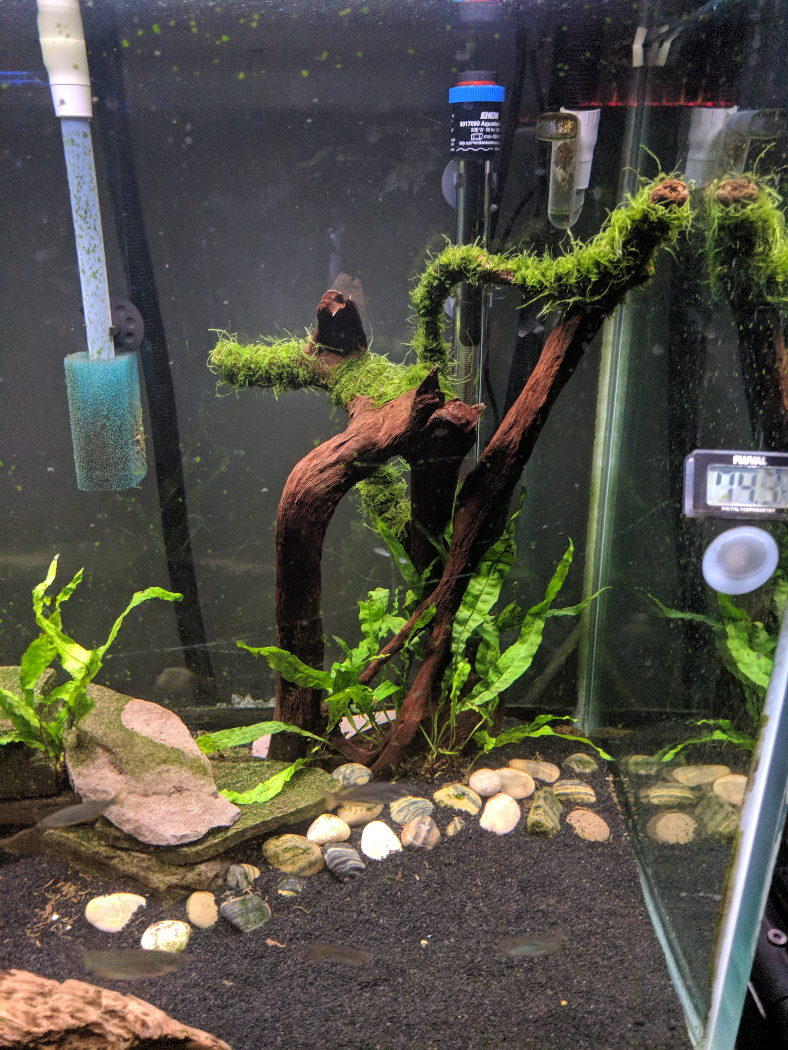 Extra Java Fern – Aquarium Co Op