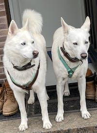Avalon Hundegeschirr in Leder türkis