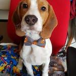 Fox Bow Tie Dog Collar