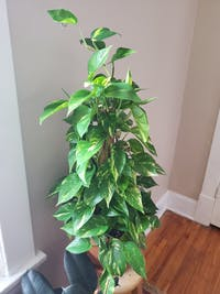 Staked Pothos