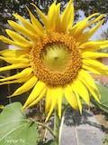 Organic Sunflower Seeds - Hybrid