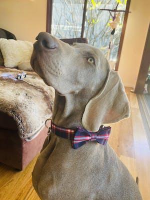 Dog Collar Blue Check | Bold