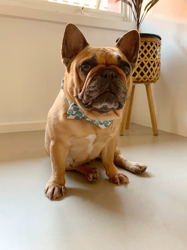 Dog Bow Tie Bubbles | Fierce