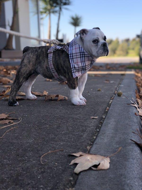 Dog Harness Cream Check | Bold