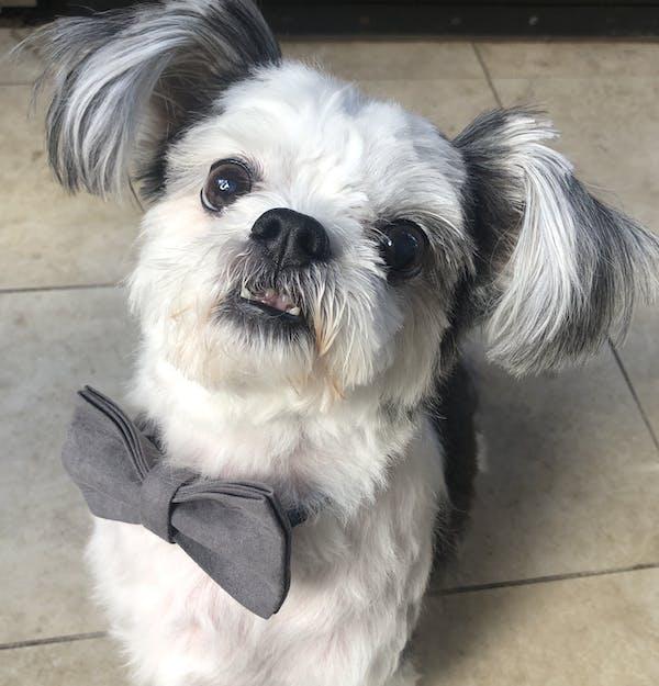 Dog Bow Tie Velvet Grey | Timeless