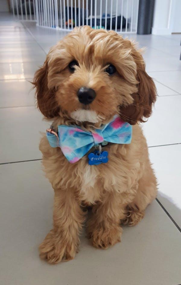 Dog Bow Tie Fantasy (Blue/Pink) | Fierce