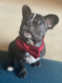 Dog Bow Tie Velvet Red | Timeless
