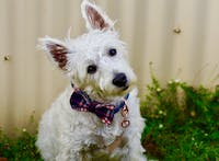 Dog Bow Tie Blue Check | Bold