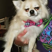 Dog Bow Tie Pink Check | Bold