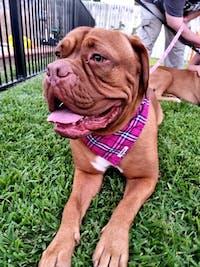 Dog Bandana Pink Check | Bold