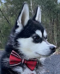 Dog Bow Tie Red Check | Bold
