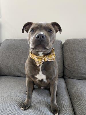 Dog Collar Yellow Check | Bold