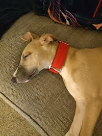 THE RONNIE Checker Red Martingale Collar