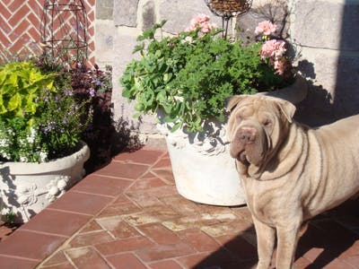 Chinese Shar-Pei Nose Butter