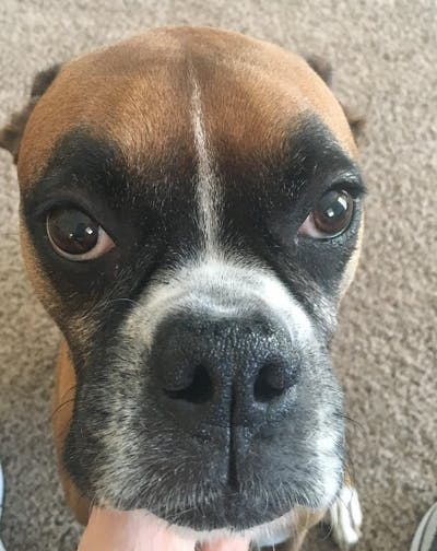 Boxer Nose Butter