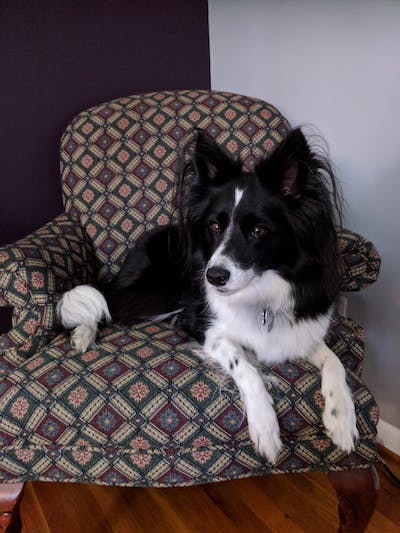 Border Collie Relax Dog Aromatherapy