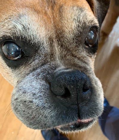 Boxer Nose Butter