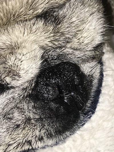 Pug Nose Butter