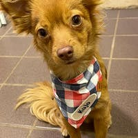 Red White and Woof Plaid Snap On Dog Bandana